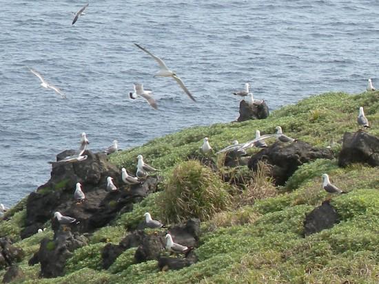 海鳥(ウミネコ)の群れ