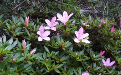 宿のそばで控えめに咲いていたつつじの花。
