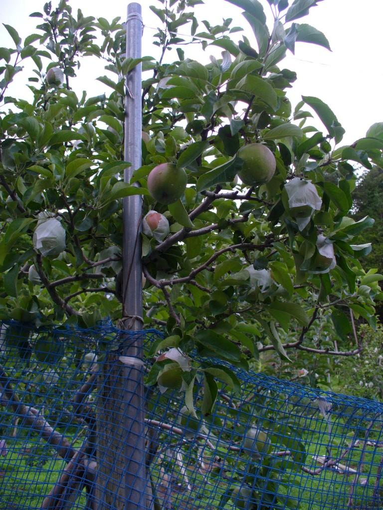 小さな実をつけたりんごの木