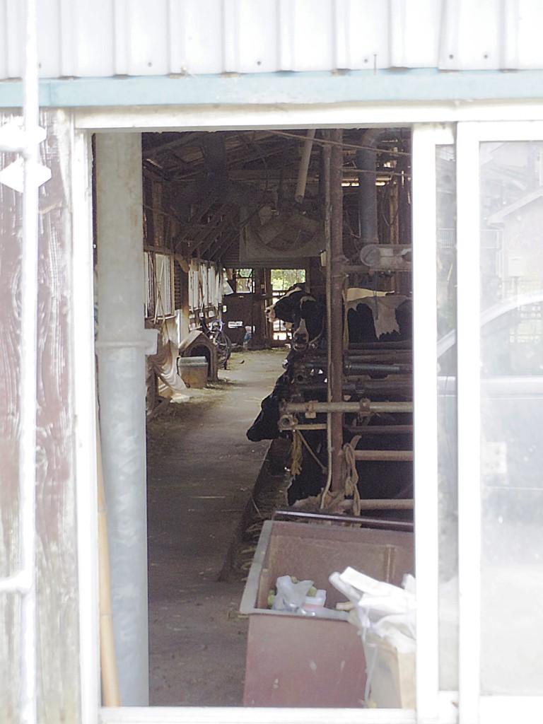 すぐ近くにあった牛舎。もう使われていないのかと思ったら、しっかり牛たちと目が合った。