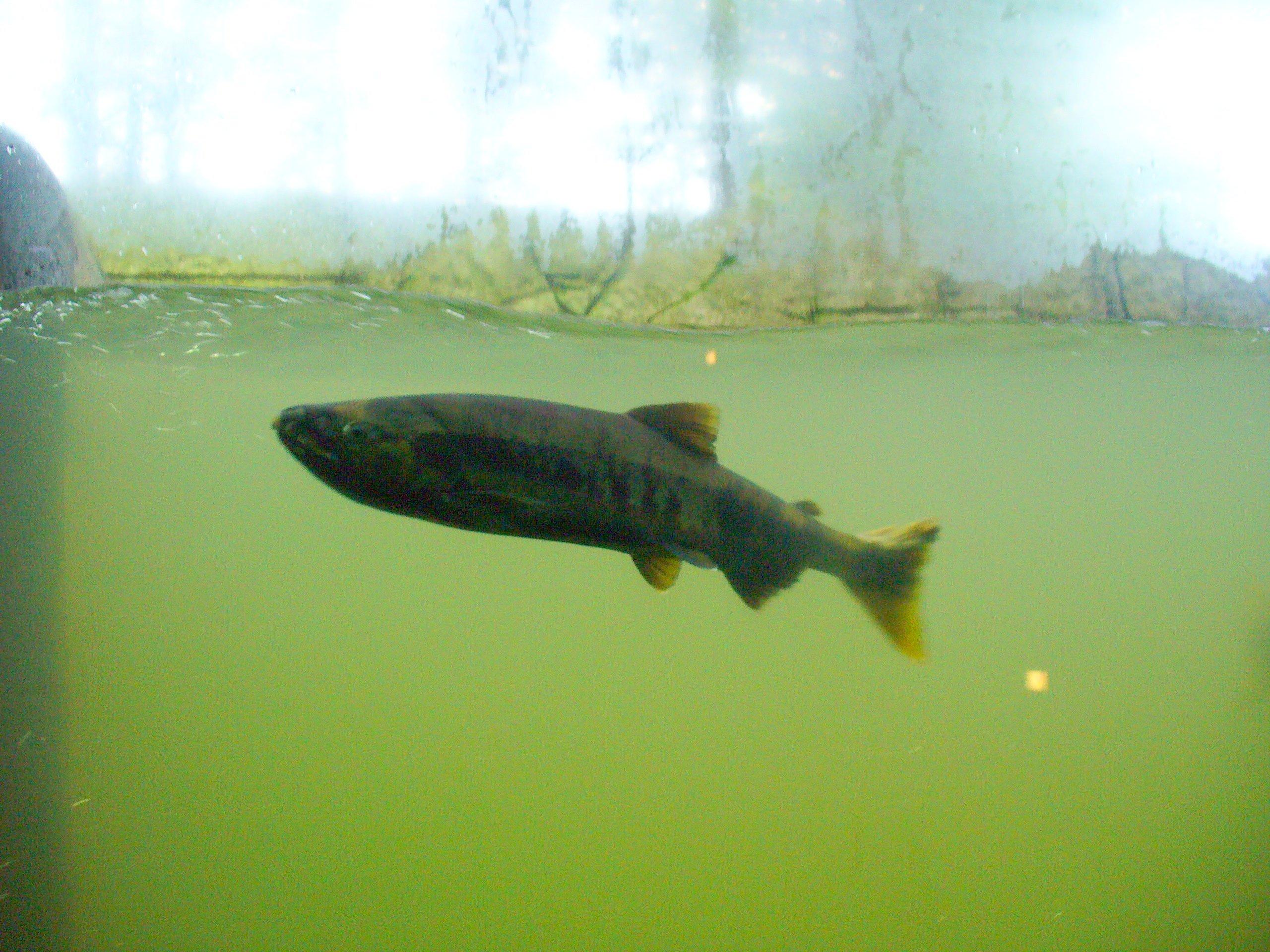 魚道水槽に入ったサケは、捕獲されてしまうけど……次の子孫たちが川へ帰っていく。
