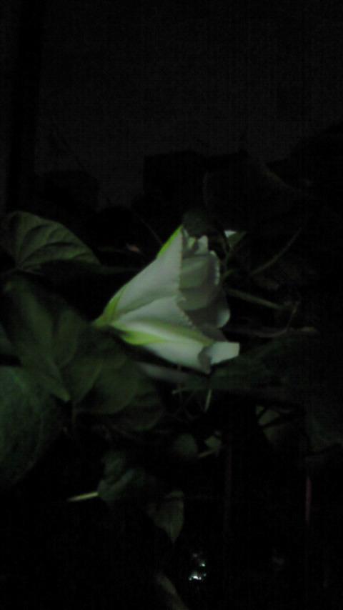 ベランダに咲いた夕顔