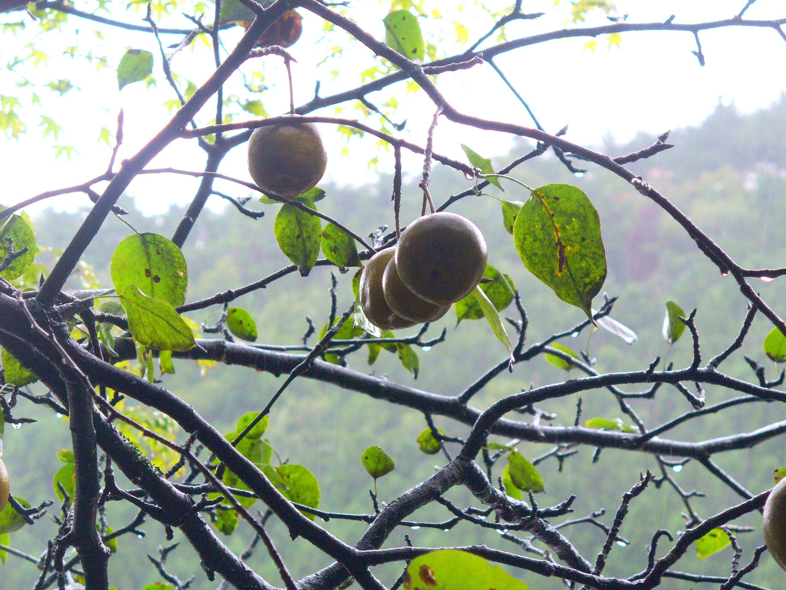 雨に濡れる、ヤマナシの実。