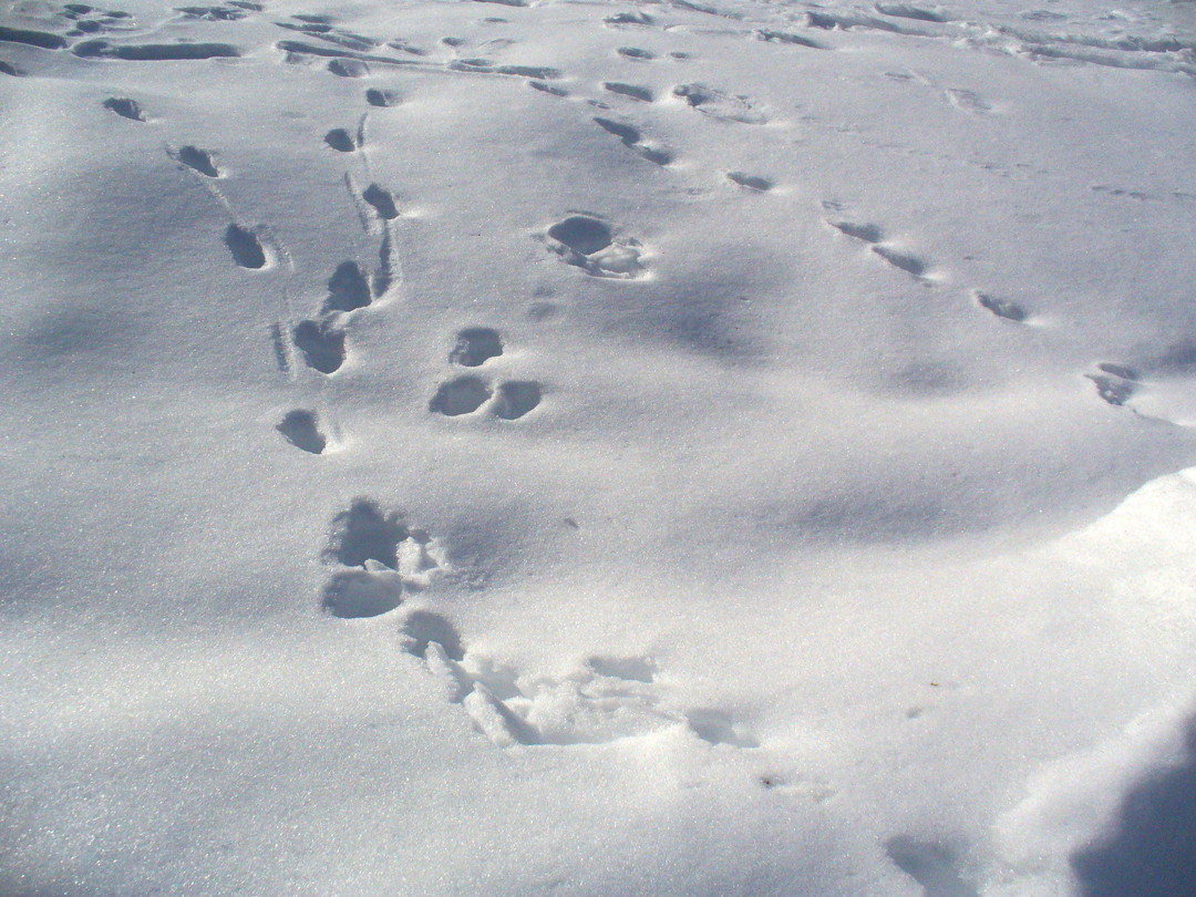 雪面に、華々しく!つけられた動物たちの足跡。