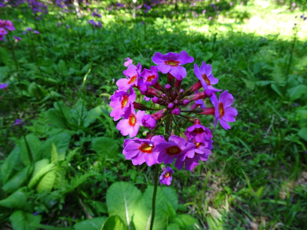 くりん草のアップ。何段にも花が咲きます♪
