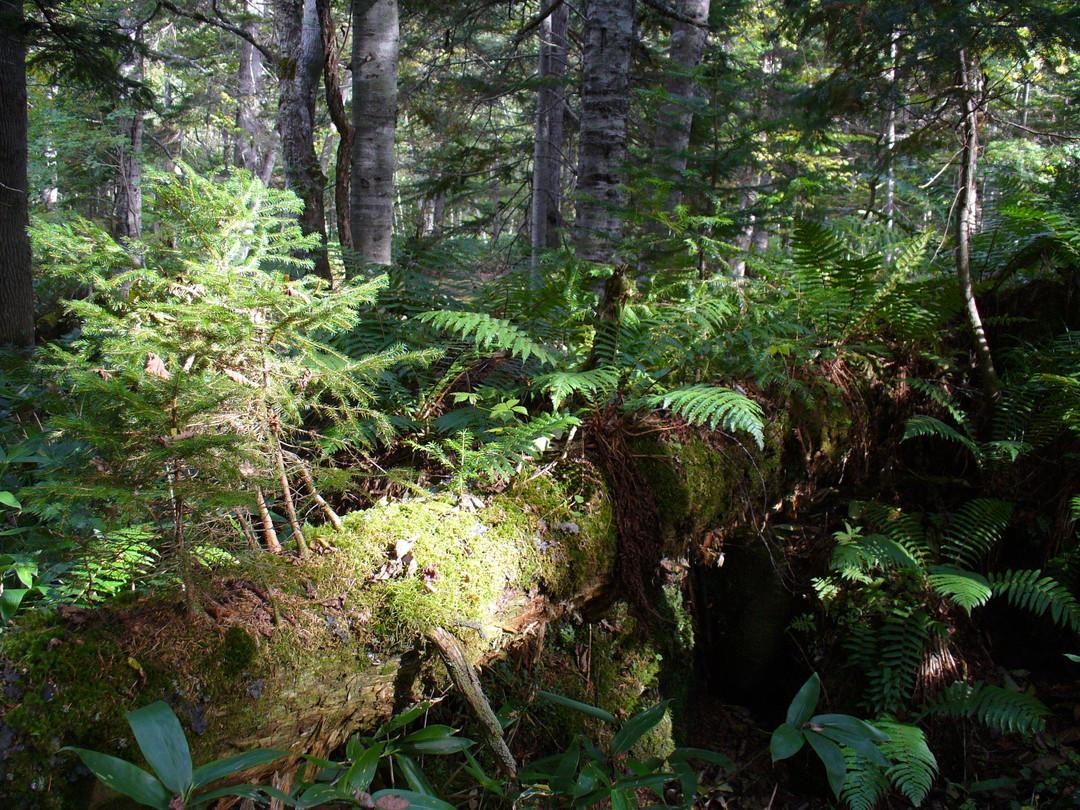 ノンノの森で多数みられるNurse log(倒木更新)。倒れた古木から、新しい世代の木や植物が育つ。