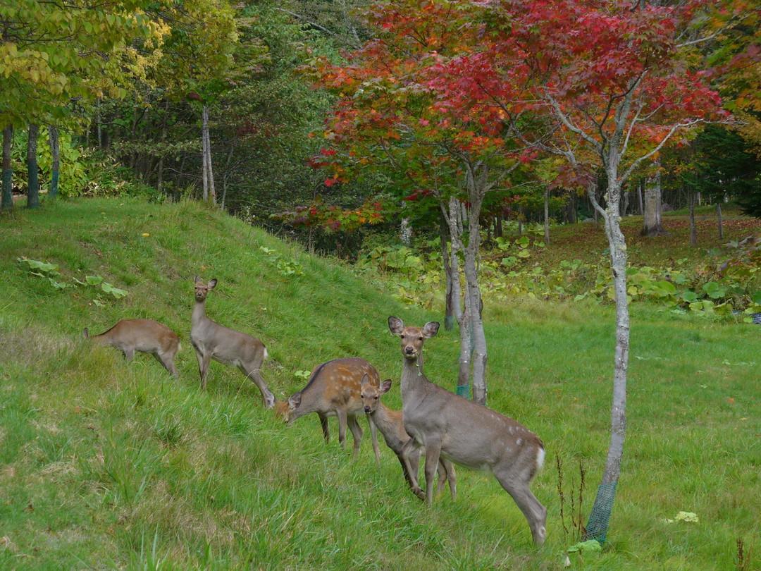 森つべつのすぐ裏に現れたエゾシカの群れ♪(秋に撮影)
