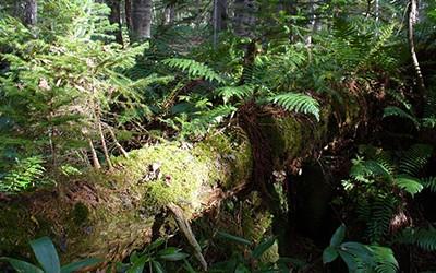 チロンヌップの足音、くりん草の微笑♪ ~奥屈斜路温泉・森つべつ