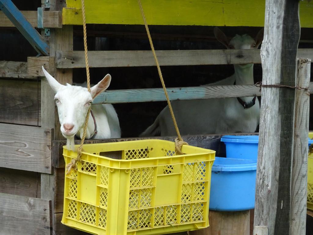 今日は雨。小屋のなかで、静かにヤギさんたちは過ごすのでした。