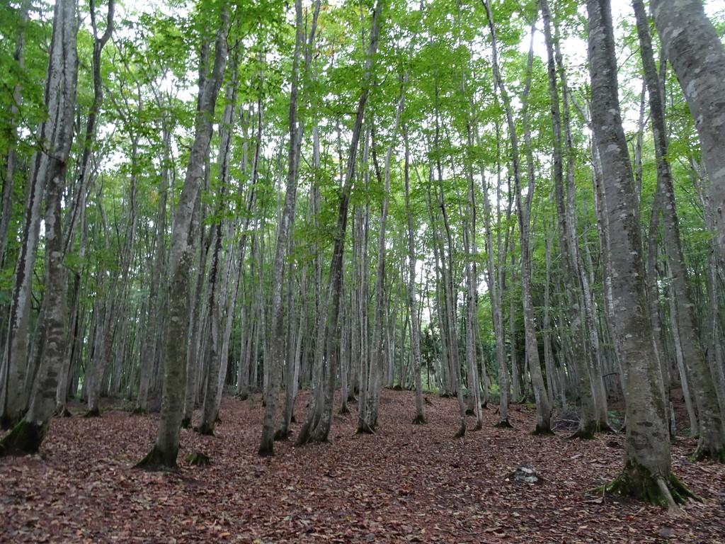 背筋のピンとしたブナの美林「美人林」♪ どこまでも吸い込まれていきそう。