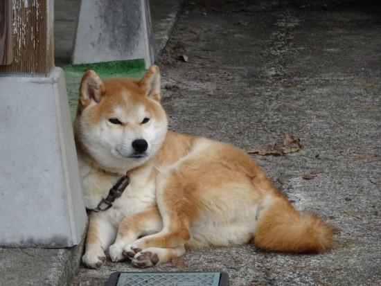 とても静かな、裏通りの柴犬さん♪