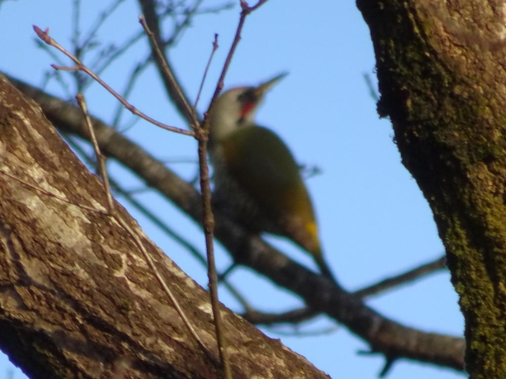 枝の向こうに、啄木鳥。アオゲラさんです。